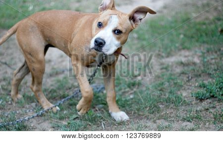 Picture of an Amstaff dog on a grass