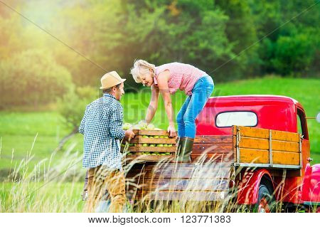 Senior couple harvesting fruit, standing at red vintage pickup truck, loading it with wooden boxes full of apples