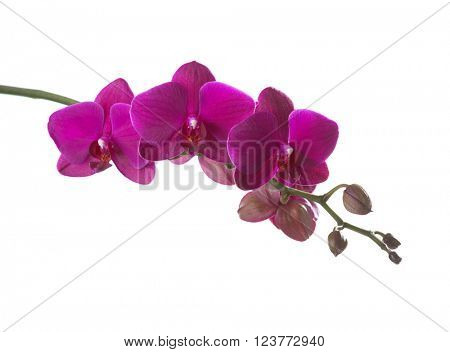 Dark pink orchid isolated on white.