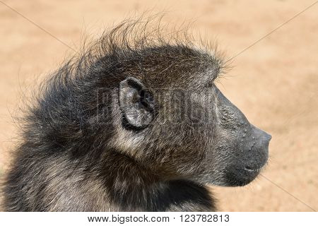 Portrait of the african baboon monkey Namibia