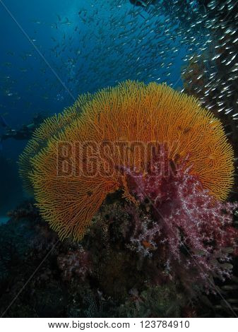 Gorgonian red soft coral and a school of glassfish. Similan Islands Thailand