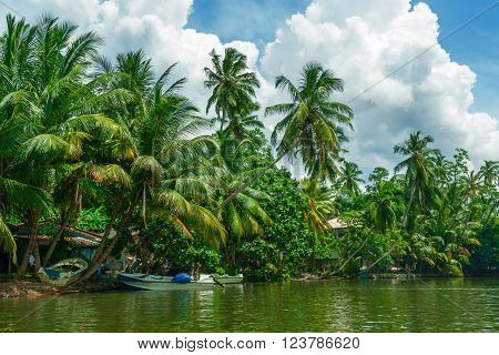 Tropical palm forest on the river bank. Tropical thickets mangrove forest on the island of Sri Lanka.