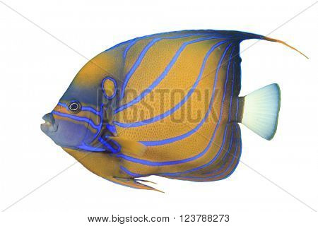 Angelfish fish isolated on white background (Blue-ringed Angelfish)