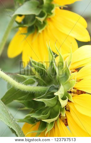 Closeup of backs of two sunflowers showing sepals