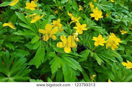 Thickets Of Flowering Celandine Plants (Scientific name: Chelidonium majus)