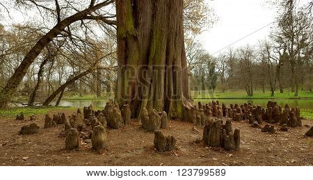 Bald cypress tree in a Hungarian park. Taxodium distichum with its cypress knees