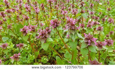 Little purple nettle Flowers In Garden At Spring