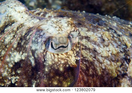 a squid remains motionless trying to hide