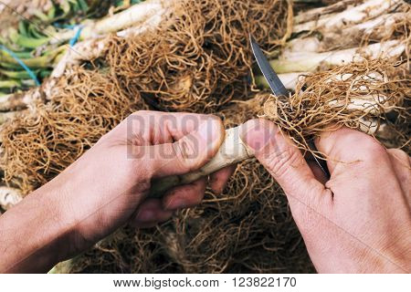 closeup a young man cutting the roots of some raw calcots, sweet onions typical of Catalonia, Spain