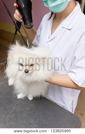 pomeranian after shower with hairdryer, pomeranian dog concept, pomeranian dog groomed, pomeranian dog grooming, pomeranian dog shower, pomeranian dog health.