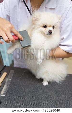 pomeranian after shower with brush, pomeranian dog concept, pomeranian dog groomed, pomeranian dog grooming, pomeranian dog shower, pomeranian dog health.