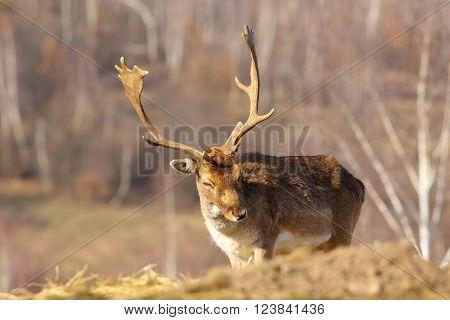 fallow deer buck coming towards the camera ( Dama dama )