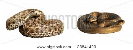 grass snake and meadow viper isolated over white differences between poisonous and harmless species of european snakes ( Vipera ursinii rakosiensis Natrix natrix ) poster