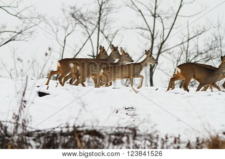 group of wild roe deer running on snow field ( Capreolus capreolus )
