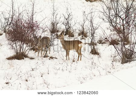 roe deers foraging for food in winter ( Capreolus capreolus )