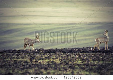 roe deers on plowed land roebuck looking at the doe ( Capreolus capreolus )