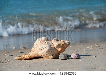 Seashells on the shore of the Gulf of Mexico Florida USA