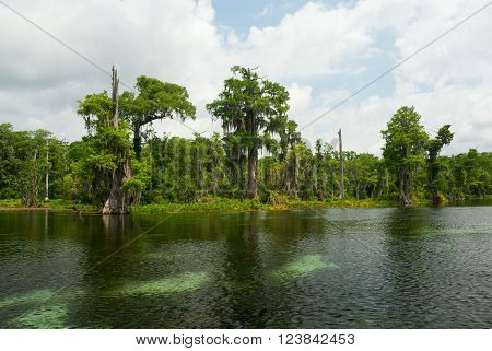 Water cypress  in the mysterious waters Wakulla Springs, Florida, USA