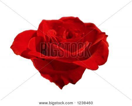 Rose Red 04