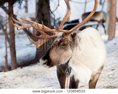 Reindeer with big antlers in Lapland of Finland