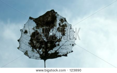 Transparent Leaf Against Sky