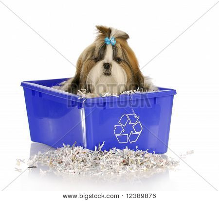 adorable shih tzu puppy sitting in recycle bin on white background poster