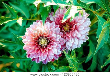 The dahlia is genus of flowering plants in the sunflower family . Closeup of dahlia flower in full bloom in the garden.