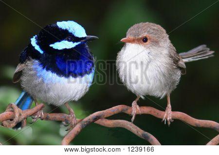 Superb Blue Fairy Wrens