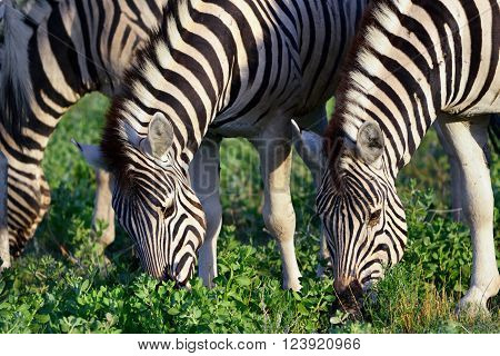 Damara zebras at sunrise Equus burchelli Etosha national park Namibia