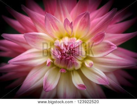 Closeup of a beautiful dahlia fower in pink pastel tones on dark background