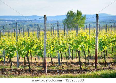 Vineyard Landscape With Hills In Pfalz, Germany