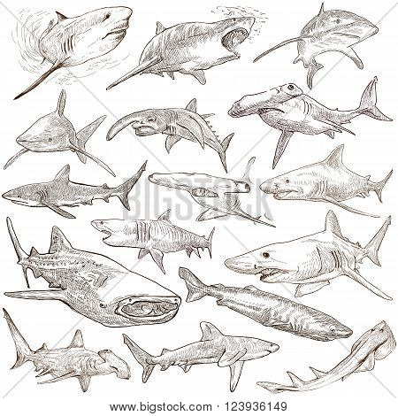 Animals SHARKS Chordata. Collection of an hand drawn illustrations. Description Full sized hand drawn illustrations - freehand sketches. Drawings on white background.