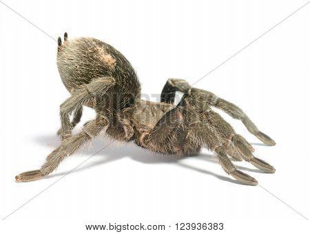 Black Tarantula Grammostola Pulchra Isolated