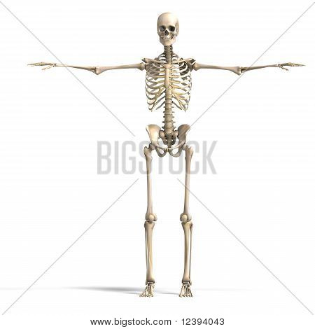 anatomical correct male skeleton