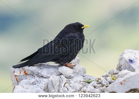 Black yellow-billed chough in the Dolomites standing on a stone