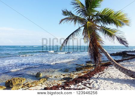 Picture of a palm tree on beach at Maya Riviera in Mexico.
