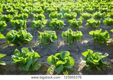 Green romain letuce field in a row in Mediterranean area