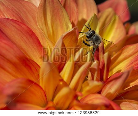 Bee among the petals on orange flower