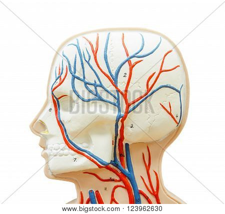 close up to head human model for study medicine isolated on whie background