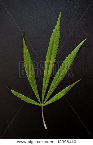 marijuana leaf on the black background