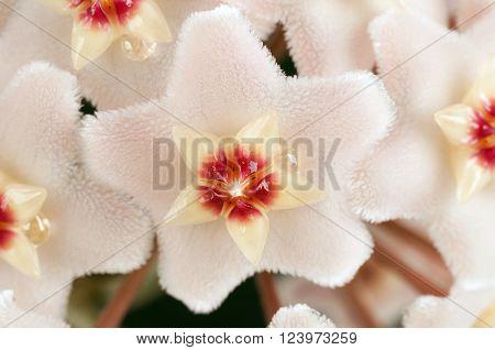 Macro of wax plant Hoya Carnosa Asclepiadaceae flower