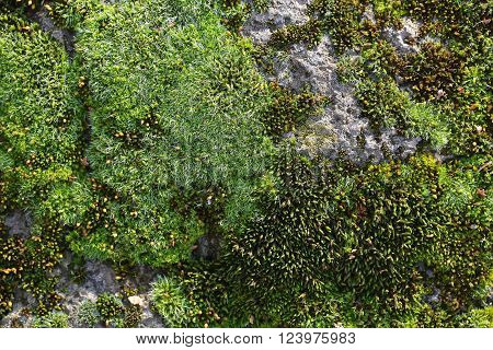Green Mosses On Rock