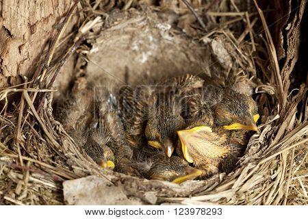 young blackbird nestling (Turdus merula) in nest