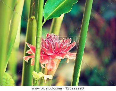 Large exotic pink flower growing in the tropics . Etlingera elatior flower color red in nature