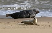 seal cub on sea palling beach with adult seal poster