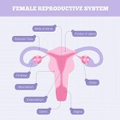 Female reproductive system flat vector infographic. Human anatomy including fallopian tube Ovary Fimbriae Cervix Vagina Myometrium and body of uterus with graphic element poster