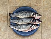 seabass raw on blue plate over tiled surface poster