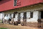 Hopewell Furnace National Historic Site is a working farm.  Pictured are some of the animals used in the National Park. poster