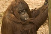 this female orang was content just to hang around. poster