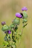 Bee pollen a purple thistle at summertime poster